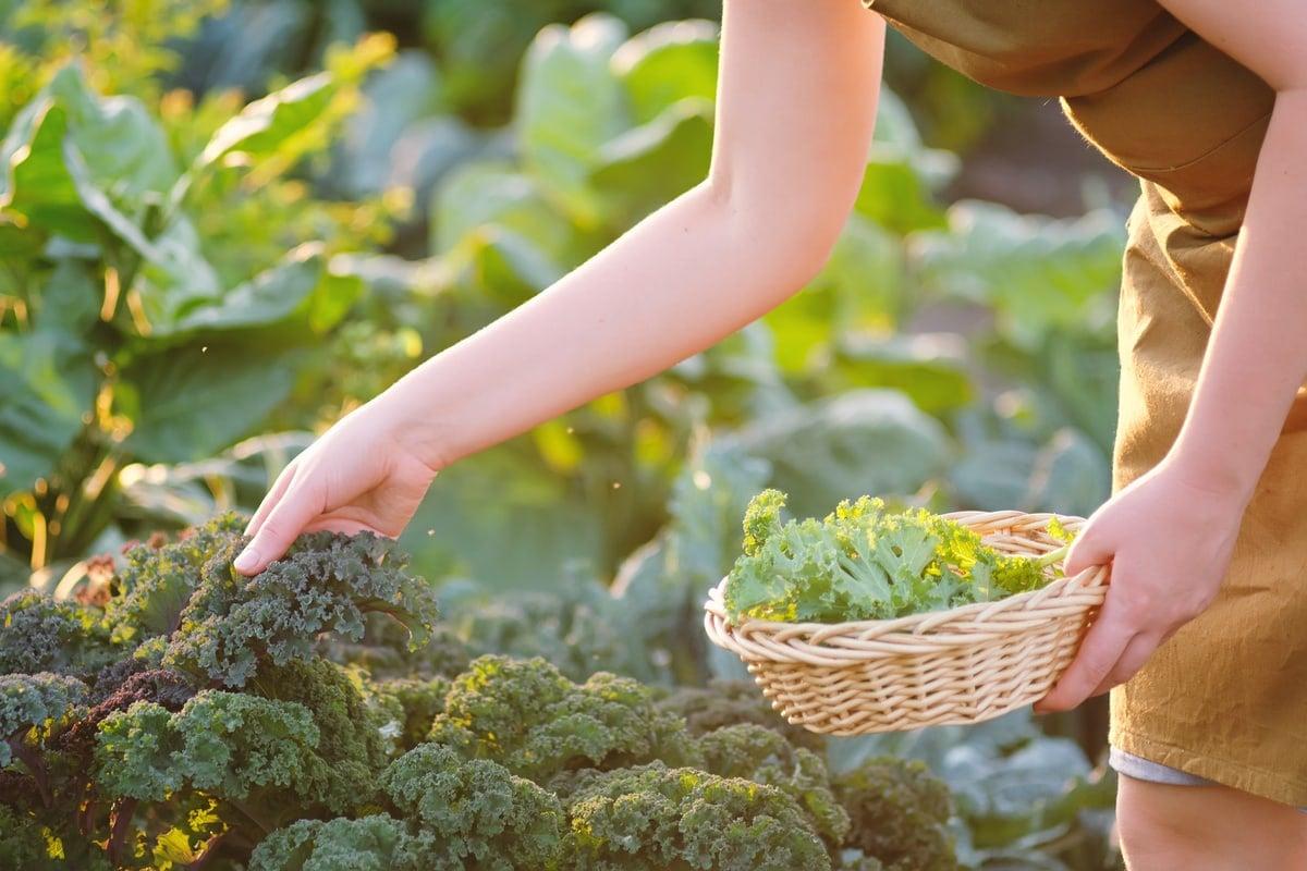 Kale crops